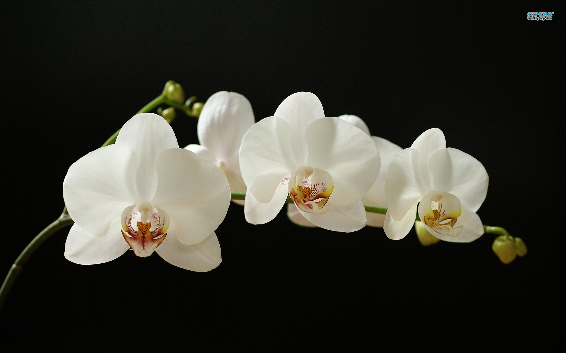 how to grow phalaenopsis orchid in melbourne