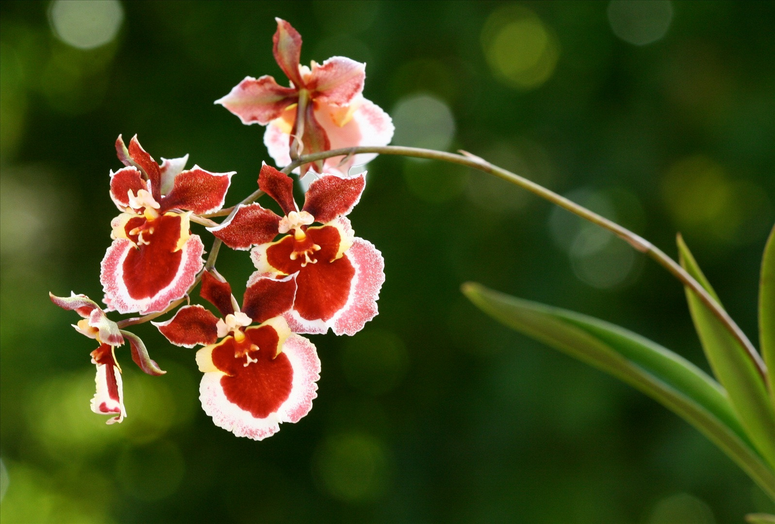 Oncidium orchid orkid How do you care for orchids after they bloom