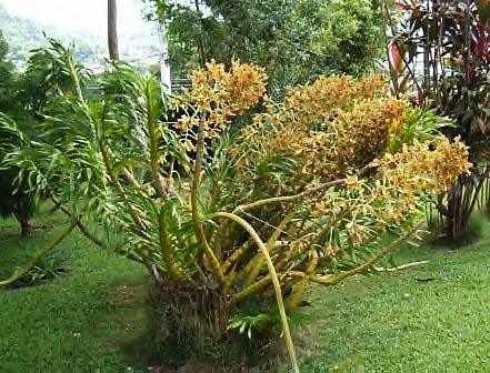 Grammatophyllum_speciosum_large